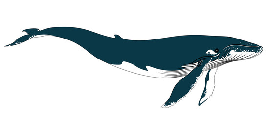 Realistic big blue whale on a white background.