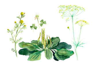 Fennel, wild camomile, plantain. Collection herb. Water color hand drawn illustration. Botanical illustration