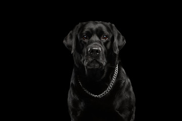 Closeup Portrait black Labrador Dog, Serious Looking, Front view,  Isolated