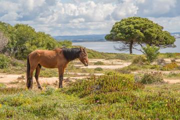 einsames braunes Pferd auf duftender und blühender Algarve Landschaft - Freiheit pur!