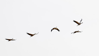 Silhouette of five flying crane bird