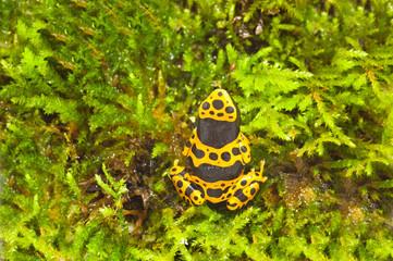 Yellow-banded poison dart frog (Dendrobates leucomelas)
