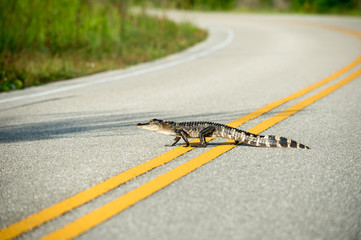 American alligator crossing the road