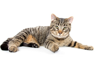 Tabby cat laying down