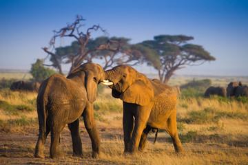 Elephants on african savannah in misty morning light