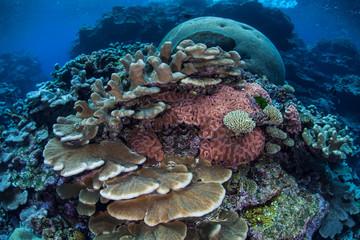 Reef-Building Corals in Solomon Islands