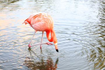 Photo of Common flamingo bird standing in water. Mirror reflection water, water drops. Wild nature of Dominican Republic. Jungle pond animal picture. Pink feathers tropical bird with long neck