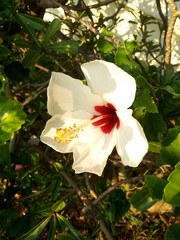 White Chinese Hibiscus blooming,Hibiscus rosa-sinensis