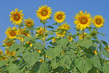 Sun flowers against a blue sky
