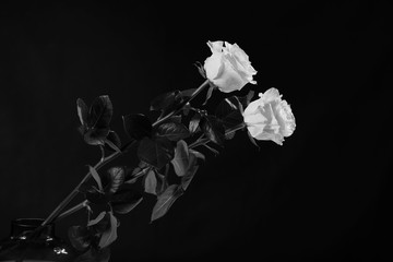 two white roses on a black background