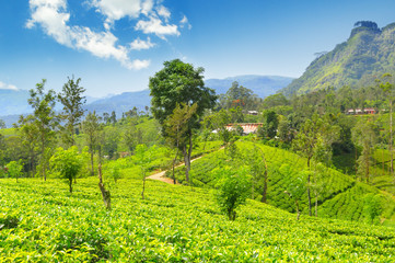 tea plantation on the picturesque hills