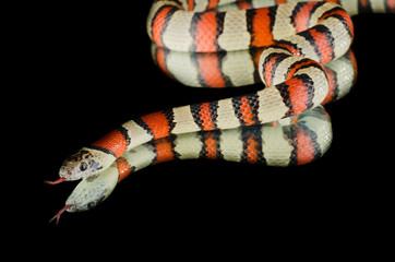 milk snake king snake on mirror