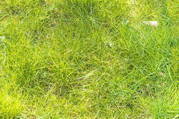 young spring a thick green grass