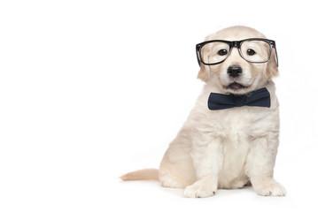 Smart Elegant Golden Retriever Puppies