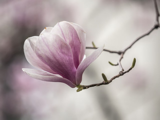 Magnolia  soulangeana,saucer magnolia tree