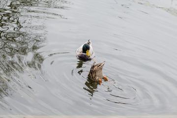 Erpel guckt Ente beim Tauchen zu
