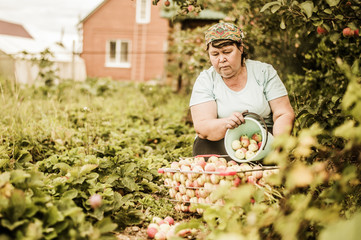 Mature woman picking apples on farm