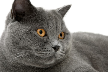 Portrait of a gray cat (breed Scottish straight) close-up.