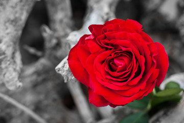 Red rose on the beach. Color against black and white. Love, romance, melancholy concepts.
