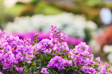 Bougainvillea's flowers vintage