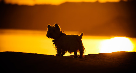 White West  Highland Terrier standing at sunset in front of a lake