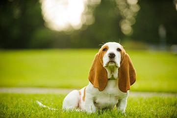 Basset Hound puppy sitting in a grassy park