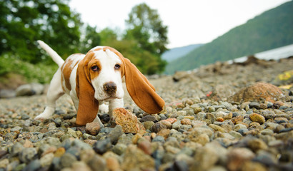 Basset Hound puppy playing on a rocky shore
