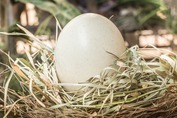 Ostrich egg in bird nest, big large dinosaur egg concept.