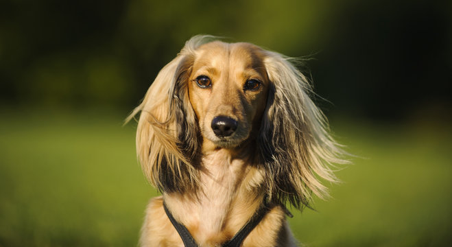 Portrait of long haired Miniature Dachshund