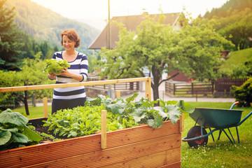 Frau erntet Salat vom eigenen Hochbeet/gardening 19