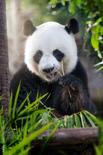 portrait of nice panda bear eating in summer environment. Black Bedroom Furniture Sets. Home Design Ideas