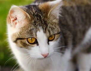 Portrait of cat with white and tabby color