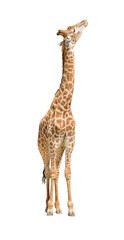 African giraffe raising head up cutout