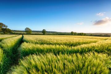 Cornish Barley Field Fotoväggar
