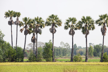 sugar palm in paddy field.