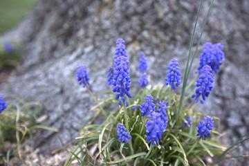 Purple flowers. Deapth of field. Grape Hyacinth/A Grape Hyacinth