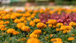 Flowers field - marigold