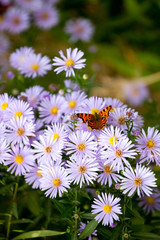 Butterfly on lilac daisy flowers  in sunny day. Selective focus.