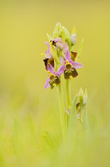 Group of Late spider-orchid - Ophrys holoserica - Hummel-Ragwurz