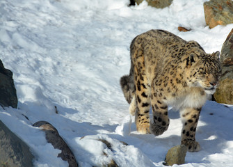 The snow leopard is a large cat native to the mountain ranges of Central and South Asia. It is listed as endangered on the IUCN Red List of Threatened Species