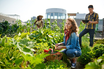 Friendly team harvesting fresh vegetables from the rooftop greenhouse garden and planning harvest season on a digital tablet Wall mural