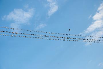 A flock of swallows, Ukraine