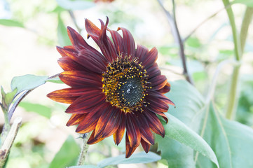 purple flower sunflower