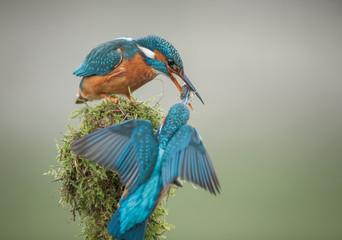 Kingfisher courtship