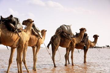Afar herders lead a camel caravan. Danakil-Ethiopia. 0291