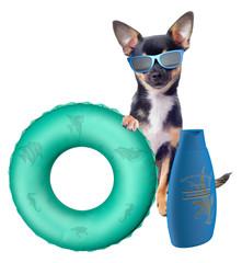 Cute chihuahua dog protect at sun