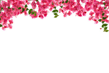 Bougainvillea flower frame on white background ,Provincial flowe