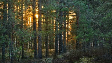 Sunset in a northern forest landscape at the sunset