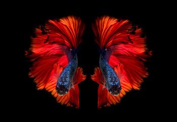 Nuamfolio for Kampffische arten
