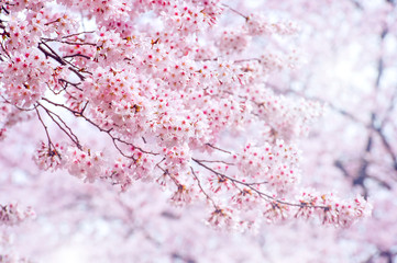 Wall Mural - Cherry Blossom in spring with Soft focus, Sakura season in korea